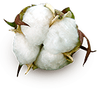 cotton production boll - Cotton Production