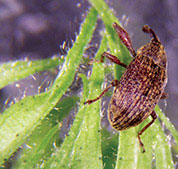 agriculture boll weevil - Agriculture