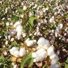 item8254 - Cottonseed