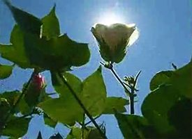 Water Needs Of Cotton
