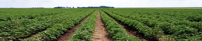 irrigate cotton 4 - Why Irrigate Cotton?