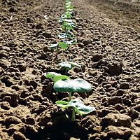 irrigate management 2 - Management Considerations for Irrigated Cotton