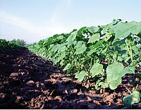 irrigate management 3 - Management Considerations for Irrigated Cotton