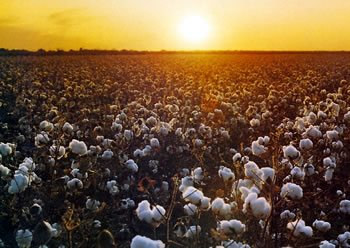sunset - Using Gray Water in Cotton Production