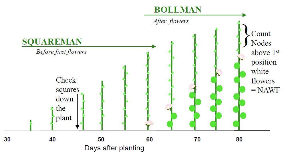 Squareman Bollman 2 - COTMAN™ Crop Management System