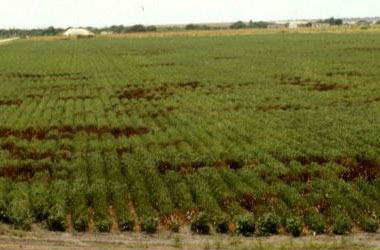 Cotton root rot phymatotrichopsis management 6 - Cotton Root Rot and It's Management
