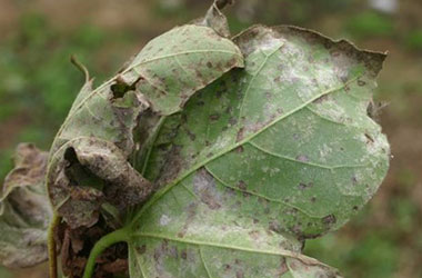 Diagnosis Management Foliar Diseases 19 - Diagnosis and Management of Foliar Diseases in the United States