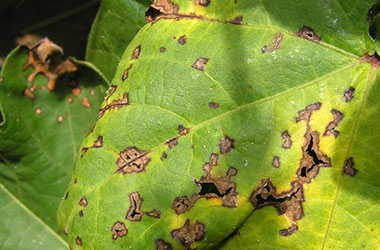 Diagnosis Management Foliar Diseases 3 - Diagnosis and Management of Foliar Diseases in the United States