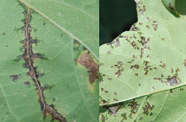 Diagnosis Management Foliar Diseases 5 - Diagnosis and Management of Foliar Diseases in the United States