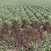 Site-Specific Management of Cotton Root Rot