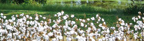 cultivated media - Cotton Cultivated