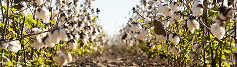 cultivated resources - Cotton Cultivated