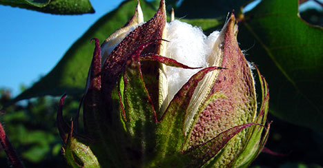 focusoncotton plantbugs - Focus on Cotton