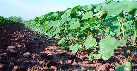 focusoncotton tillage - Focus on Cotton