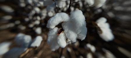 Cotton Crop Market News