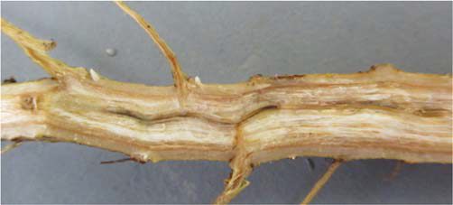 Figure 4 - Identification and Management of Fusarium Wilt Race 4