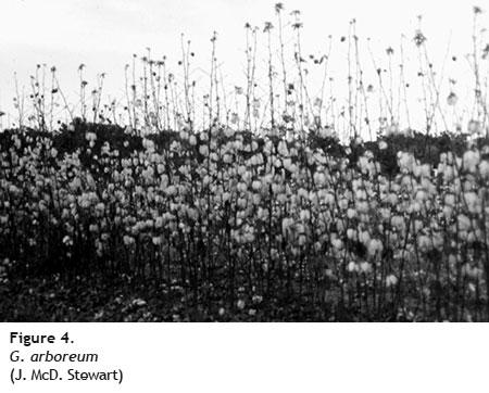 g arboreum - Cotton Fiber Development and Processing