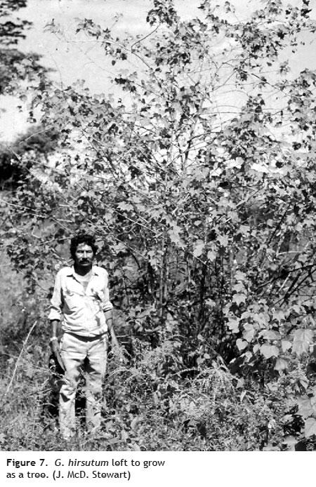 g hirsutum tree - Cotton Fiber Development and Processing
