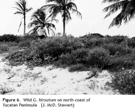 g hirsutum yucatan - Cotton Fiber Development and Processing