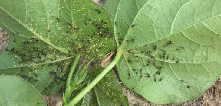 Cotton leaf roll aphid vector thumb - Cotton Leafroll Dwarf Virus Research Review