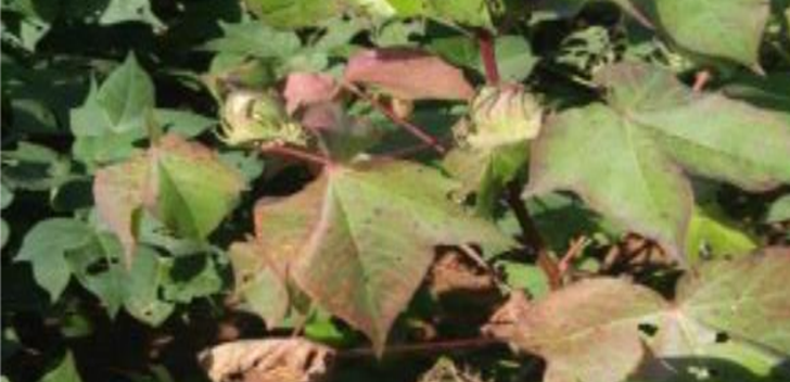 bronze wilt leaf roll virus indicator - Cotton Leafroll Dwarf Virus Research Review