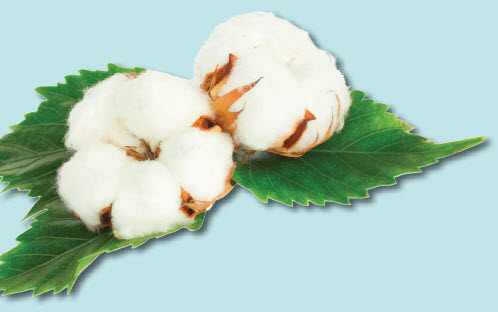 Cotton Bolls with Leaves - Cotton Science & Sustainability Lesson Plans